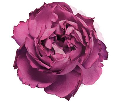Rose Piaget Joaillerie