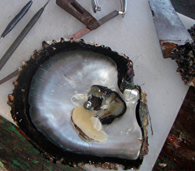 Croissance d'une perle dans une huitre